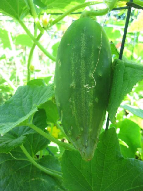 A 'Garden Cucumber' variety perfect for summer salads. Not pictured, but almost ready for harvest are 'Lemon Cucumbers,' whose subtle sweetness is perfect for pickling.